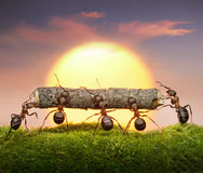 myror bär teamwork för lag för begreppsjournalsolnedgång Arkivbilder