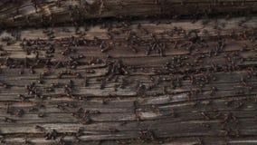 Myror bygga bo i trä - brandmyror som kryper på det trägamla huset lager videofilmer