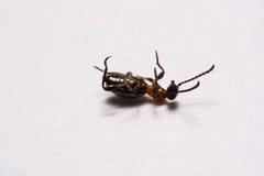 Myror för Ant Formica rufafoto på en vit bakgrund Arkivfoto