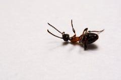Myror för Ant Formica rufafoto på en vit bakgrund Royaltyfri Foto