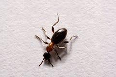 Myror för Ant Formica rufafoto på en vit bakgrund Royaltyfria Bilder