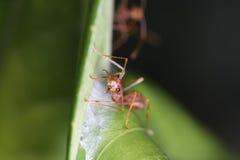 Myror går på ris Arkivfoton