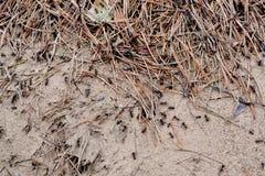 Myror i en myrstackskog Fotografering för Bildbyråer