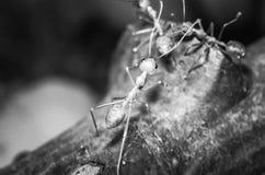 Myror i makro arkivbilder