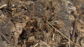 Myror i natur Teamwork: svarta och röda myror på träyttersida med stenar Myror som marscherar på en filial Arkivfoto
