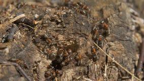 Myror i natur Teamwork: svarta och röda myror på träyttersida med stenar Myror som marscherar på en filial Arkivfoton