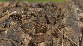Myror i natur Teamwork: svarta och röda myror på träyttersida med stenar Myror som marscherar på en filial Royaltyfri Foto