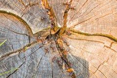 Myror i stammen av ett snittträd Royaltyfria Foton