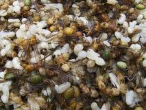 myror kläckte red för myrmicinae nytt royaltyfri foto
