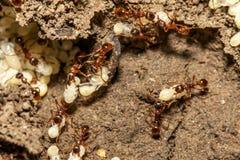 Myror med ägg Arkivbilder