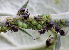 Myror och bladlöss Fotografering för Bildbyråer