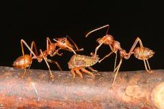 Myror och bladlöss Royaltyfria Bilder