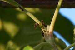 Myror och bladlöss på äppleträd Fotografering för Bildbyråer