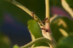 Myror och bladlöss på äppleträd Royaltyfri Fotografi