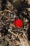 Myror och lös jordgubbe i en myrstack Royaltyfri Foto