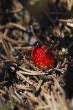Myror och lös mogen jordgubbe Fotografering för Bildbyråer