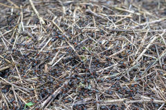 Myror och myrstack Arkivbilder