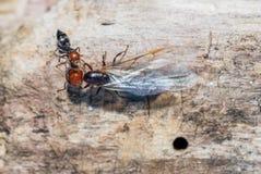 Myror och nära övre för drottning Royaltyfria Foton