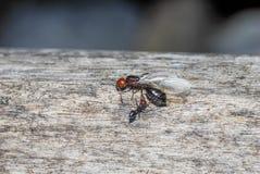 Myror och nära övre för drottning Arkivbilder