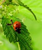 Myror och nyckelpiga på ett grönt blad Arkivfoton