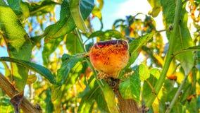 Myror och persika 8 fotografering för bildbyråer