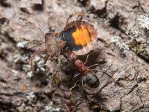 Myror och skalbagge Royaltyfria Foton