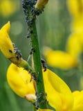 Myror och svartbladlöss på den gemensamma kvasten naturdetalj Royaltyfri Fotografi