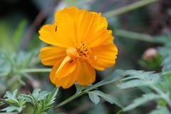 Myror på en blomma Fotografering för Bildbyråer