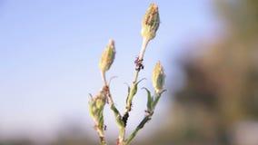 Myror på en växt stock video