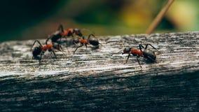 Myror på ett staket, makrofoto, Ameland wadden ö Holland Nederländerna royaltyfri bild