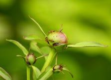 Myror på pionblomman Arkivfoton