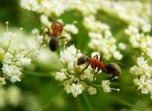 Myror på vitblomma Royaltyfri Fotografi