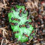 Myror som äter godisen Royaltyfria Bilder
