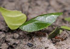 Myror som bär bladdelar till deras rede arkivbilder