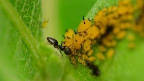 Myror som deltar i bladlöss stock video