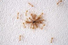 Myror som flyttar mat. Golv för vitt cement. Royaltyfri Fotografi