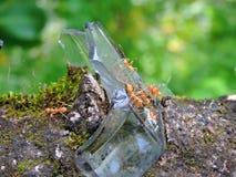 Myror som går på exponeringsglaset som är inpassat på väggen Arkivbild