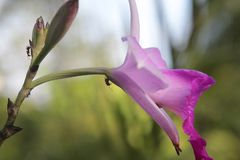 Myror som går på rosa blommor royaltyfri bild