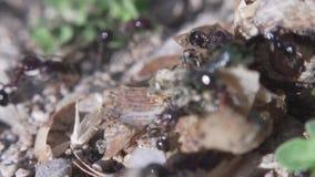 Myror som k?r till deras myrstack Myragemenskap Extremt makroslut upp skott lager videofilmer
