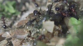 Myror som k?r till deras myrstack Myragemenskap Extremt makroslut upp skott arkivfilmer
