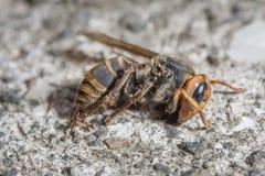 Myror som klättrar på döda Wasp Arkivfoto