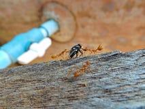 Myror som söker efter föda på trä Fotografering för Bildbyråer