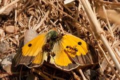 Myror som skördar en döda fördunklad gul fjärilsColias croceus i ett ointressant fält royaltyfri fotografi