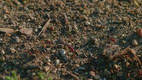 Myror som skriver in och lämnar myrstacken lager videofilmer