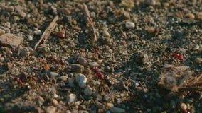 Myror som skriver in och lämnar myrstacken stock video