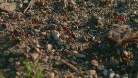 Myror som skriver in och lämnar myrstacken arkivfilmer