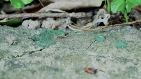 Myror som tätt kör upp makro stock video