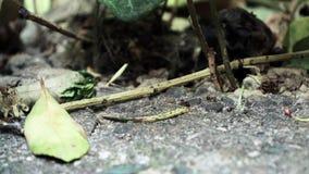 Myror som tätt kör upp makro arkivfilmer