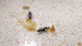 Myror som t?tt flyttar sig upp lager videofilmer