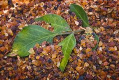 Myrrh Commiphora-myrrha royalty-vrije stock afbeeldingen